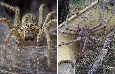 Spider population is able to decimate the population of Australia for a year