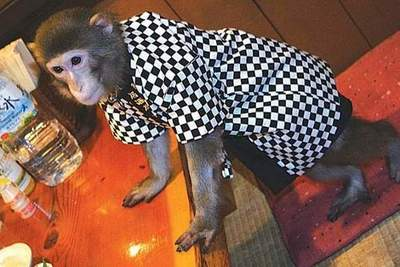 The Japanese restaurant waiters working monkey