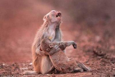 The photographer did an amazing picture: monkey cries over the body of her baby