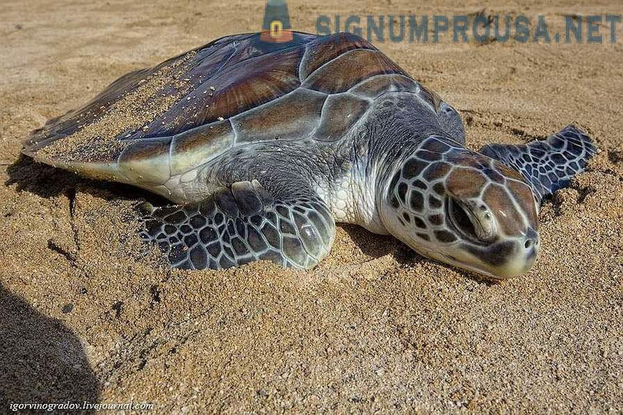 Green sea turtles from Indonesia