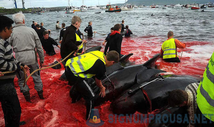 The whole truth about the killing of dolphins in Denmark