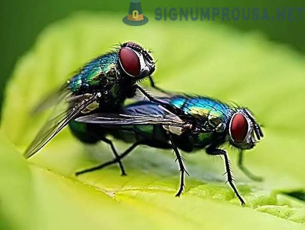 How and why are bred flies