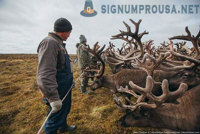 North of Russia: Life in reindeer herders in the Tundra