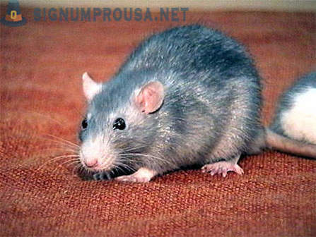 5 horrifying facts about rats