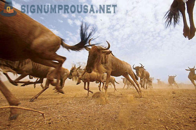 Migrating animals